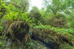 Gefallene Rotholzbäume bedeckt im Moos Lizenzfreie Stockfotos