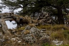 Gefallene Zeder in einer Waldung im Libanon lizenzfreies stockfoto
