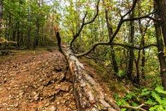 Gefallener Baum auf einem Waldweg Stockbild
