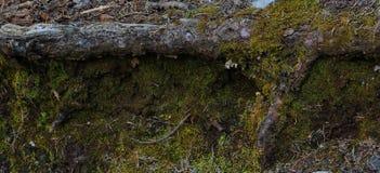 Gefallener Baum bedeckt im Moos in sandia Bergen New-Mexiko stockbilder