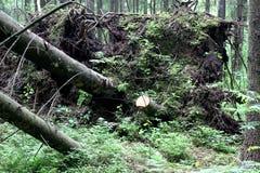 Gefallener Baum in einem Kiefernwald Stockbild