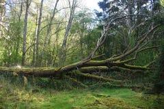 Gefallener Baum in einem Wald Stockbilder