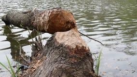 Gefallener Baum, gefällt durch Biber stock video footage