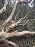 Gefallener Baum gestreift von der Barke stockbild