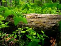 Gefallener Baum hervorgehoben durch schönes Licht lizenzfreie stockbilder