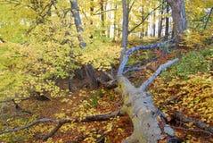 Gefallener Baum im automn Lizenzfreies Stockfoto