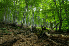 Gefallener Baum im Gebirgswald lizenzfreie stockfotos