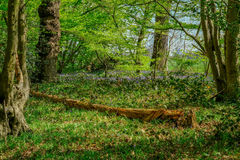 Gefallener Baum im Glockenblumeholz Lizenzfreies Stockbild