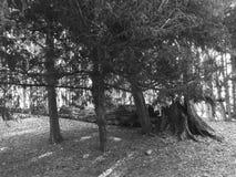 Gefallener Baum im Holz Stockfoto