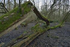 Gefallener Baum im nassen Waldland Stockfotografie