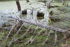 Gefallener Baum im Sumpf Lizenzfreie Stockfotos