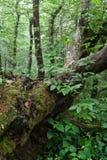 Gefallener Baum im Wald stockbilder
