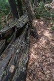 Gefallener Baum nach einem starken Blitz auf dem Weg zu Kozya-stena Hütte Der Berg im Mittel-Balkan erstaunt mit seinem Beaut lizenzfreie stockfotos