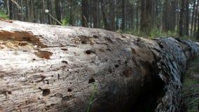 Gefallener Baum ohne Barke stock video footage