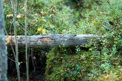 Gefallener Baum und Blaubeeren im Wald Stockfotos