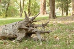 Gefallener Baumstamm im Park, Montevideo Uruguay Lizenzfreies Stockbild