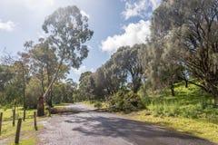 Gefallener Eukalyptus Stockfotografie