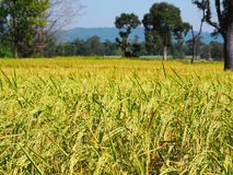 Gefallener Reis auf dem Gebiet stockfoto