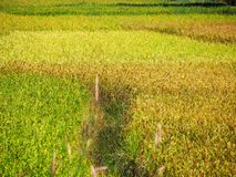 Gefallener Reis auf dem Gebiet stockfotos