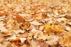 Gefallener trockener Herbstahornblatt-Fallhintergrund Lizenzfreies Stockbild