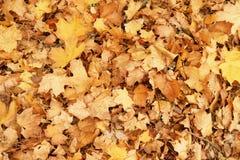 Gefallener trockener Herbstahornblatt-Fallhintergrund Stockfotos