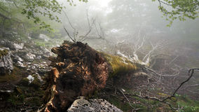 Gefallener und entwurzelter Baum Stockfotos