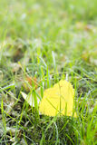 Gefallenes Blatt der gelben Pappel im grünen Gras, Herbst kommt, Ende des Sommers Lizenzfreies Stockfoto