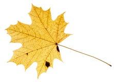 gefallenes gelbes Blatt des Acerbaums lokalisiert Stockfoto