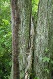 Gefallenes Glied zwischen zwei Bäumen stockbilder