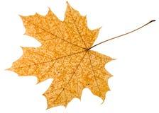 gefallenes Herbstblatt des Acerbaums lokalisiert Stockfotografie