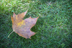 Gefallenes trockenes Blatt auf Gras Stockfotografie