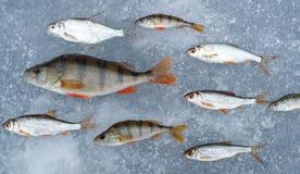 Gefangene Fische ausgebreitet auf der Eisempfindung, der der Fisch in das Wasser alle Fische in einer Richtung, Stangen und Weiß  Stockfotografie