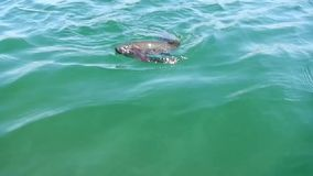 Gefangene Regenbogenforellefische stock video footage