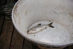 gefangener Fisch liegt in einem weißen Eimer lizenzfreie stockfotos