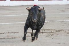 Gefangennahme der Zahl eines tapferen Stiers der Haarschwarzfarbe in einem Stierkampf Lizenzfreie Stockbilder