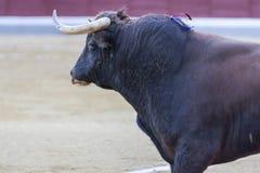 Gefangennahme der Zahl eines tapferen Stiers in einem Stierkampf Stockfotografie