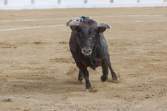 Gefangennahme der Zahl eines tapferen Stiers in einem Stierkampf Lizenzfreies Stockfoto
