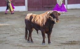 Gefangennahme der Zahl eines tapferen Stiers in einem Stierkampf Stockbild