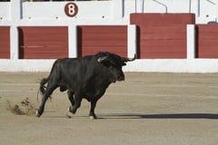 Gefangennahme der Zahl eines tapferen Stiers in einem Stierkampf Lizenzfreie Stockfotografie