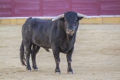 Gefangennahme der Zahl eines tapferen Stiers in einem Stierkampf Lizenzfreies Stockbild