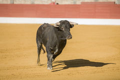 Gefangennahme der Zahl eines tapferen Stiers in einem Stierkampf Stockbilder