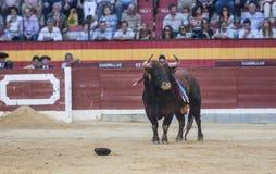 Gefangennahme der Zahl eines tapferen Stiers in einem Stierkampf, Spanien Stockfoto