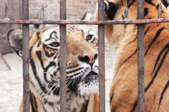 Gefangenschafttier Stockfotografie