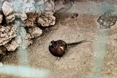 Gefascineerde haan voorbij prikkeldraad in dierentuin Stock Fotografie