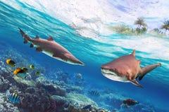 Gefährliche Stierhaifische Stockfoto