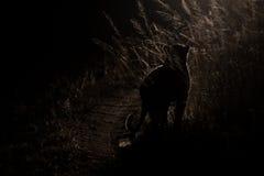 Gefährlicher Leopardweg in der Dunkelheit, zum für künstlerischen Betrug des Opfers zu jagen Lizenzfreie Stockfotos