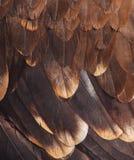 Gefieder eines goldenen Adlers Stockbilder