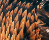 Gefieder eines goldenen Adlers Stockbild