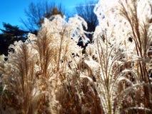 Gefiederte Oberteile des funkelnden Glühens des dekorativen Pampasgrases in direktes Sonnenlicht lizenzfreie stockbilder