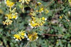 Gefiedertes Lotus (Hosackia-pinnata) Lizenzfreie Stockfotos